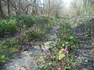 В гората край кв. Аспарухово - горска пътека покрита с красиви цветя