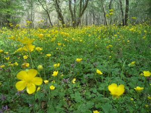 Страхотна гледка на поляна отрупата с жълти цветя
