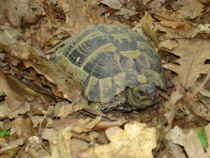 Красива костенурка в гората край с. Близнаци