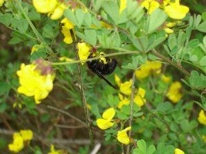 """Екопътека парк """"Златни пясъци"""" - красива пчела кацнала на цъфнало цвете в гората над Кранево"""