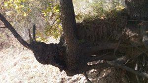 Маршрут Аспарухово - местност Крушките, красива дървесна фигура в дерето край кв. Звездица