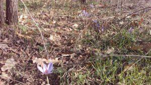 Маршрут Аксаково - Калиманци - изобилие от минзухари в гората