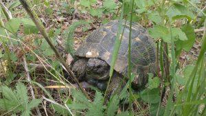 Красива костенурка в изоставеното поделение в местност Калето над Кранево