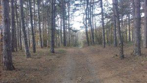 Изглед на горска пътека сред красива борова гора