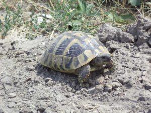 По пътя за местност Тъпаните - симпатична костенурка