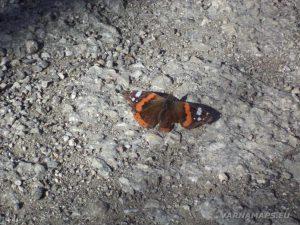 """""""Петрич кале"""" - красива пеперуда в гората"""
