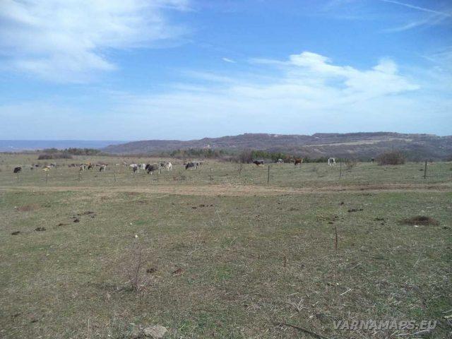 Петрич кале - кравите пасящи на платото