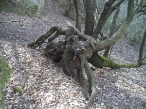 Петрич кале - интересно дърво в гората