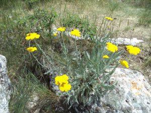 Скален манастир Шашкъните - красиви цветя