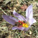 Красив минзухар с кацнала пчела на него