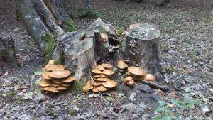 Красиви оранжеви гъби на дървесен дънер