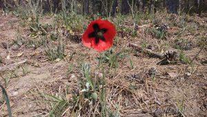 Красиво цвете в гората - червен мак
