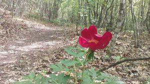 Красив цъфнал божур в гората над Аксаково