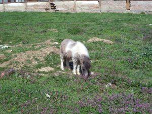 Красиво пони в стопанския двор край пътя за водопад Орлов камък