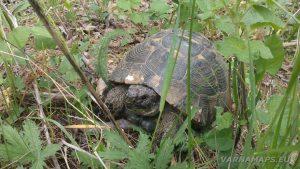Екопътека Аладжа - Кранево - костенурка в тревата на платото над Кранево