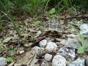 """Екопътека """"Веселиново"""" - малка костенурка в тревата по маршрута"""
