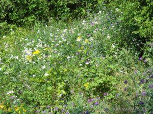 """Край язовир """"Цонево"""" - поляна отрупана с цветя по маршрута"""