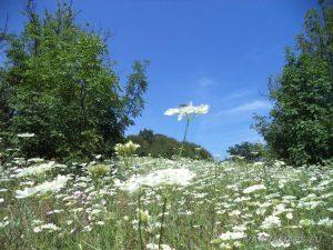 """Край язовир """"Цонево"""" - красиво растение с кацнала пчела на него, при хълма """"Града"""""""