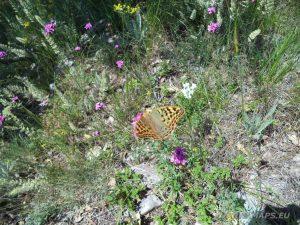 """Край язовир """"Цонево"""" - красива пеперуда кацнала на цвете по маршрута"""