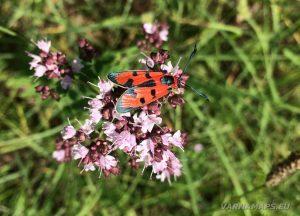 Местност Водениците - червена буболека върху цвете