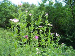 Местност Капладжата - красиви виолетови цветя по маршрута