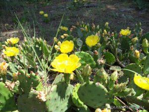 Авренска поляна - цъфнали кактуси по маршрута
