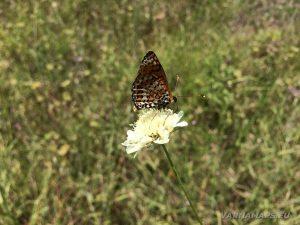 Местност Водениците - красива пеперуда кацнала на цвете