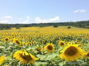Местност Водениците - цяло поле със слънчогледи